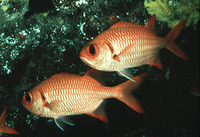 Myripristis amaena, Brick soldierfish: fisheries