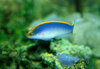 Pseudochromis flavivertex, Sunrise dottyback: aquarium