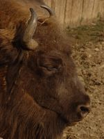 Bison bonasus - European Bison