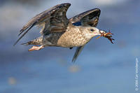 Image of: Larus argentatus (herring gull)