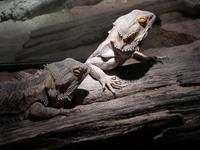 Image of: Pogona vitticeps (central bearded dragon)