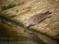 Speckled Pigeon - Columba guinea