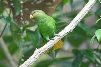 Golden-tailed Parrotlet - Touit surda
