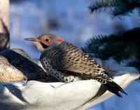 Yellow-shafted Northern Flicker.