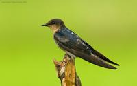 Pacific-Swallow