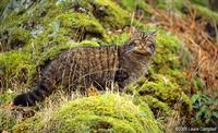 Scottish wildcat by Laurie Campbell