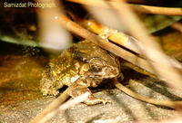 : Bufo melanostictus; Gold Toad, Asian Toad;