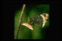 : Nymphalis antiopa; Mourning Cloak Butterfly