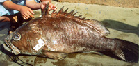 Epinephelus cifuentesi, Olive grouper: fisheries