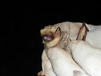 Image of: Lasiurus cinereus (hoary bat)