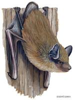Image of: Nycticeius humeralis (evening bat)