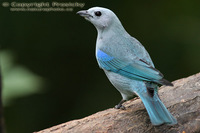Thraupis episcopus - Blue-grey Tanager