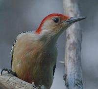 Image of: Melanerpes carolinus (red-bellied woodpecker)