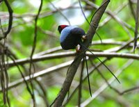 Long-tailed Manakin - Chiroxiphia linearis