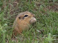 photo - long-tailed ground squirrel