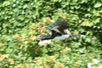 Trumpeter Hornbill In Flight