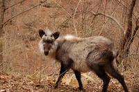 Japanese serow Flickr