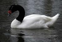 black-necked swan looking rather solemn.