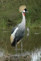 Gray-crowned Crane p.112