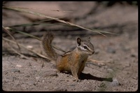 : Tamias minimus; Least Chipmunk