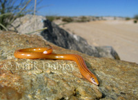 : Acontias lineatus tristis; Striped Legless Skink