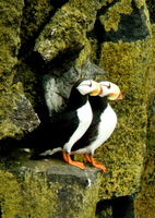 Horned Puffins. Copyright Borderland Tours. All rights reserved.
