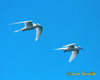 Sterna sumatrana - Black-naped Tern