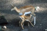 Antilope cervicapra - Blackbuck