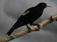 Image of: Cacicus cela (yellow-rumped cacique)