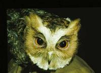 Image of: Otus bakkamoena (collared scops owl)