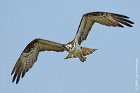 Image of: Pandion haliaetus (osprey)