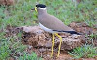 Image of: Vanellus malabaricus (yellow-wattled lapwing)