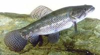 Image of: Hoplias malabaricus (tigerfish)