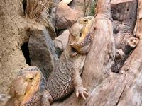 Pogona vitticeps - Central Bearded Dragon