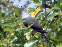 Grey Imperial Pigeon - Ducula pickeringii