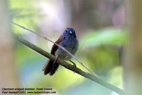 Chestnut-winged Babbler - Stachyris erythroptera