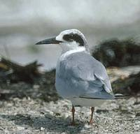Roseate Tern (Sterna dougallii) photo