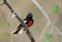Painted Redstart (Myioborus pictus) photo