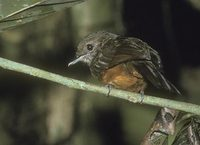 Spot-backed Antbird (Hylophylax naevia) photo
