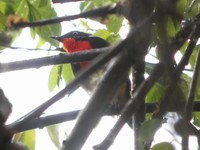 Firethroat - Luscinia pectardens