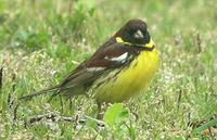 Yellow-breasted Bunting - Emberiza aureola