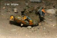 : Bombina variegata; Yellow-bellied Toad