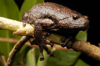 : Kaloula baleata; Smooth-fingered Narrow-mouthed Frog