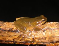 : Litoria ewingii; Brown Tree Frog