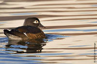 Image of: Aix sponsa (wood duck)