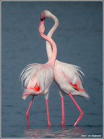 Greater Flamingo - Phoenicopterus ruber