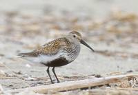 Dunlin (Calidris alpina) photo