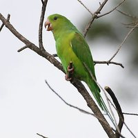 Plain Parakeet - Brotogeris tirica