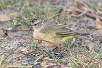 Yellow-rumped Thornbill - Acanthiza chrysorrhoa