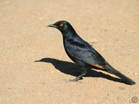 Pale-winged Starling - Onychognathus nabouroup